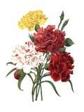 Γαρίφαλο | Παλαιές απεικονίσεις λουλουδιών Στοκ φωτογραφία με δικαίωμα ελεύθερης χρήσης