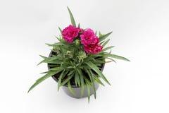 Γαρίφαλο Το γαρίφαλο με πράσινο βγάζει φύλλα και λουλουδιών οφθαλμοί στο δοχείο για τη διακόσμηση ή το δώρο που απομονώνεται στο  Στοκ φωτογραφία με δικαίωμα ελεύθερης χρήσης