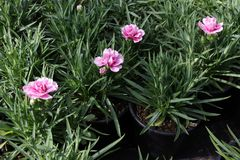 Γαρίφαλο Το γαρίφαλο με πράσινο βγάζει φύλλα και λουλουδιών οφθαλμοί στο δοχείο για τη διακόσμηση ή το δώρο floral πρότυπο καρδιώ Στοκ εικόνες με δικαίωμα ελεύθερης χρήσης