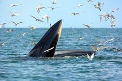 Γαρίδες κυνηγιού φαλαινών Brydes στοκ εικόνες