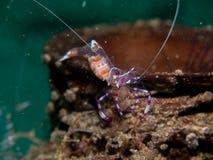 Γαρίδες φαντασμάτων με το anemone θάλασσας Στοκ Εικόνες