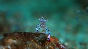 Γαρίδες Anemone απόθεμα βίντεο