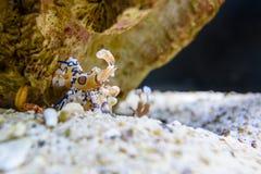 Γαρίδες Harlequin ή picta Hymenocera στοκ φωτογραφία με δικαίωμα ελεύθερης χρήσης