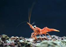 Γαρίδες Hingebeak Στοκ Φωτογραφία