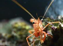 Γαρίδες Hingebeak Στοκ εικόνες με δικαίωμα ελεύθερης χρήσης