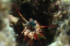 Γαρίδες Mantis που κοιτάζουν έξω από τη σπηλιά στοκ εικόνες