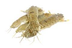 Γαρίδες Mantis Στοκ Φωτογραφίες