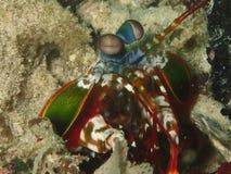 Γαρίδες Mantis Στοκ φωτογραφία με δικαίωμα ελεύθερης χρήσης