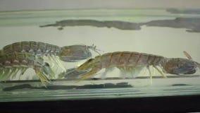 Γαρίδες Mantis απόθεμα βίντεο