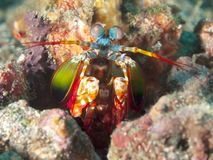 Γαρίδες mantis Peacock Στοκ Φωτογραφίες