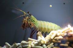 Γαρίδες Mantis Peacock Στοκ Εικόνα