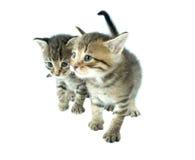 γατάκια δύο Στοκ Εικόνες