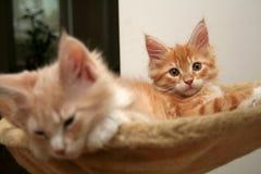 γατάκια μικρά Στοκ εικόνες με δικαίωμα ελεύθερης χρήσης