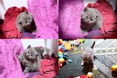 Γατάκια μωρών που παίζουν στη μωβ πετσέτα, multicam Στοκ Εικόνα