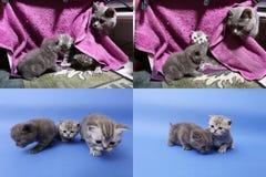 Γατάκια μωρών που παίζουν στο μωβ υπόβαθρο, multicam Στοκ φωτογραφία με δικαίωμα ελεύθερης χρήσης