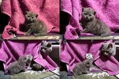 Γατάκια μωρών που παίζουν στο μωβ υπόβαθρο, multicam Στοκ φωτογραφίες με δικαίωμα ελεύθερης χρήσης