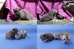 Γατάκια μωρών που παίζουν στο μωβ υπόβαθρο, multicam Στοκ Εικόνες