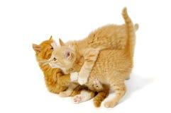 γατάκια πάλης Στοκ Φωτογραφίες