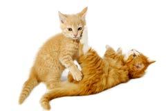 γατάκια πάλης Στοκ εικόνες με δικαίωμα ελεύθερης χρήσης