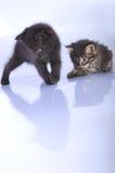 γατάκια που παίζουν από κ&omic Στοκ Εικόνες