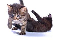 γατάκια που παίζουν από κ&omic Στοκ εικόνες με δικαίωμα ελεύθερης χρήσης
