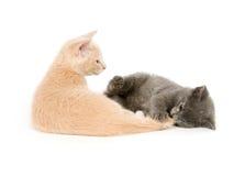 γατάκια που παίζουν δύο Στοκ Φωτογραφίες