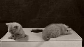 Γατάκια που παίζουν με ένα κουτί από χαρτόνι με τις τρύπες φιλμ μικρού μήκους