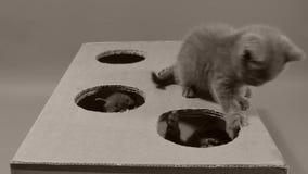 Γατάκια που παίζουν με ένα κουτί από χαρτόνι με τις τρύπες απόθεμα βίντεο
