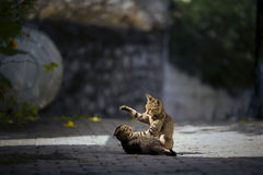 Γατάκια που παίζουν στη Flor Στοκ Εικόνα