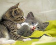 γατάκια που παίζουν δύο Στοκ Εικόνες