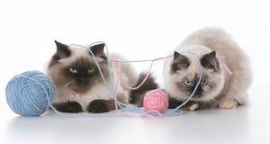 γατάκια που παίζουν δύο Στοκ Φωτογραφία