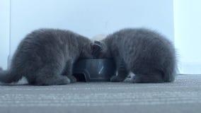 Γατάκια που τρώνε τα τρόφιμα κατοικίδιων ζώων από το κύπελλο απόθεμα βίντεο