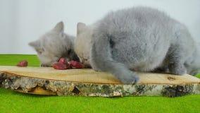 Γατάκια που τρώνε το ακατέργαστο κρέας απόθεμα βίντεο