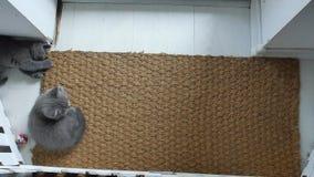 Γατάκια σε ένα χαλί πορτών φιλμ μικρού μήκους