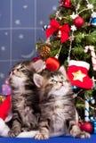 γατάκια Σιβηριανός Στοκ Φωτογραφία