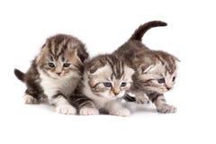 γατάκια σκωτσέζικα πτυχών στοκ εικόνα με δικαίωμα ελεύθερης χρήσης
