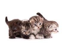 γατάκια σκωτσέζικα πτυχών στοκ εικόνες