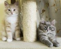 Γατάκια στη γρατσουνίζοντας θέση, την κρέμα και την μπλε έκδοση του siberi Στοκ Εικόνα