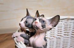 Γατάκια Sphynx μέσα σε ένα καλάθι που ανατρέχει στοκ φωτογραφίες
