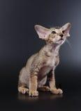 γατάκι Ασιάτης Στοκ Εικόνα