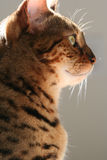 γατάκι βασιλοπρεπές Στοκ φωτογραφίες με δικαίωμα ελεύθερης χρήσης
