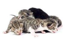 Γατάκι, γάτες 2 ημέρες παλαιές Στοκ Εικόνες