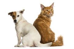 Γατάκι και ο Jack Russell του Μαίην Coon στοκ φωτογραφίες