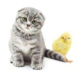 Γατάκι και χαριτωμένος λίγο κοτόπουλο Στοκ φωτογραφία με δικαίωμα ελεύθερης χρήσης