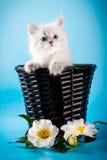 Γατάκι μεταμφιέσεων Neva στο καλάθι στοκ φωτογραφίες