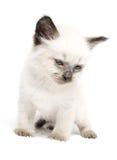 γατάκι μπλε ματιών Στοκ Εικόνα