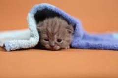 Γατάκι μωρών κάτω από μια μπλε πετσέτα Στοκ Εικόνα
