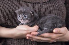 Γατάκι μωρών του Μαίην coon Στοκ φωτογραφία με δικαίωμα ελεύθερης χρήσης