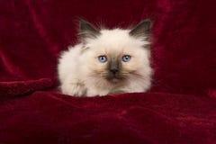 Γατάκι μωρών ragdoll με τα μπλε μάτια που ξαπλώνει burgundy velv Στοκ φωτογραφίες με δικαίωμα ελεύθερης χρήσης