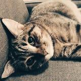 Γατάκι, νέος αιλουροειδής, γάτα τιγρών Στοκ φωτογραφία με δικαίωμα ελεύθερης χρήσης